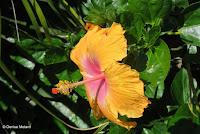 Orange-lavender hibiscus - Greenwell Coffee Farms, Big Island, HI