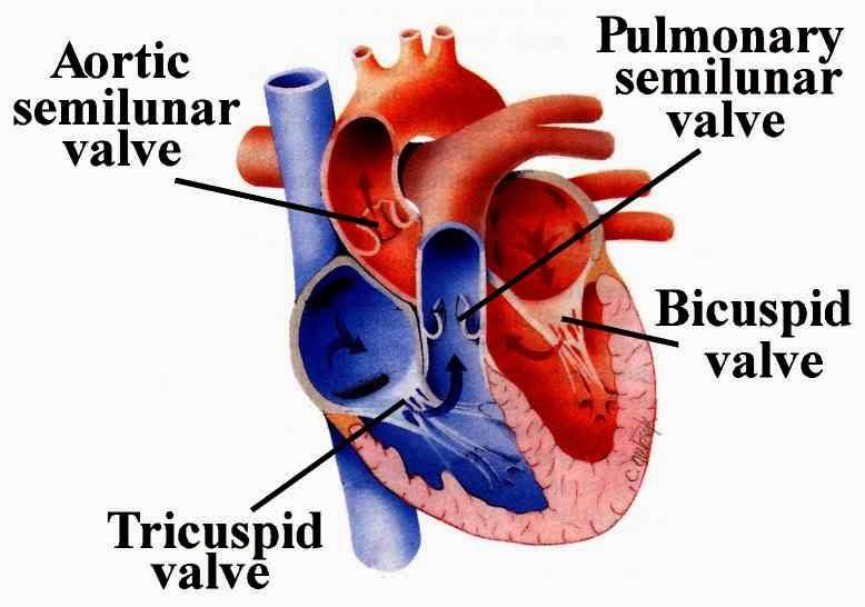 Heart-symptoms: heart valve