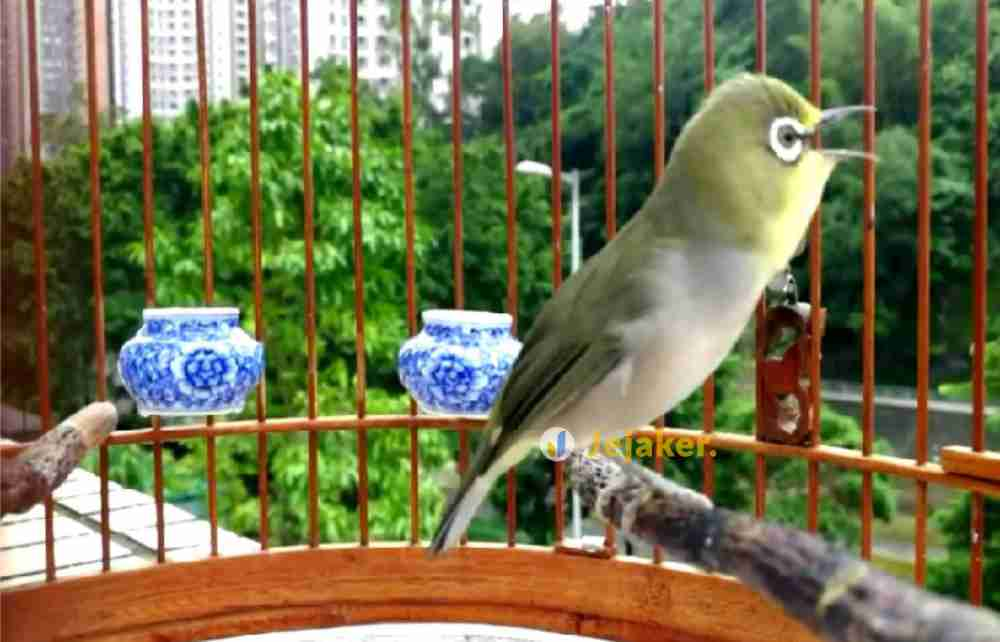 tips merawat burung pleci agar cepat gacor dan buka paruh