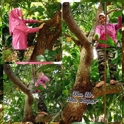 petik buah mangga