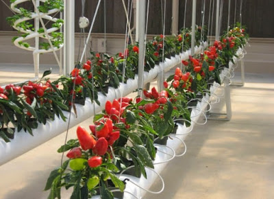 Growing Hydroponic Chili Pepper