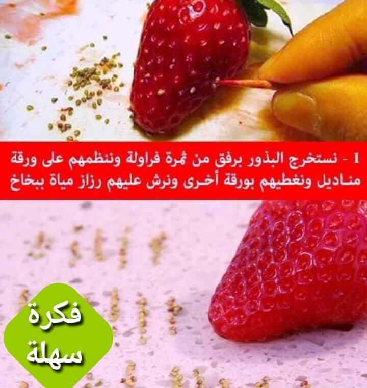 طريقة زراعة بذور الفراولة في المنزل