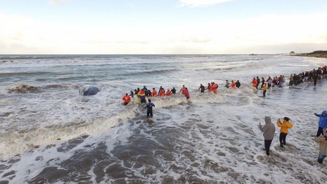 Rescataron a la ballena encallada en Mar del Tuyú CnhAv2OXgAIWIXr