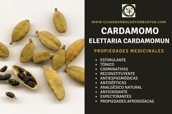Cardamomo propiedades medicinales: Sus semilla tiene un alto contenido de potasio, estimulante y tónico
