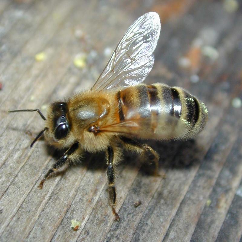 موضوع علمي شامل عن النحل ( خاااااااااص باااالمساابقة)