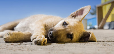 A light brown puppy lies on concrete outside in the sun
