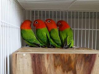 Motivasi dari Junot LB untuk Para Peternak Lovebird Sukses Dalam Burung Lovebird Motivasi dari Junot LB untuk Para Peternak Lovebird