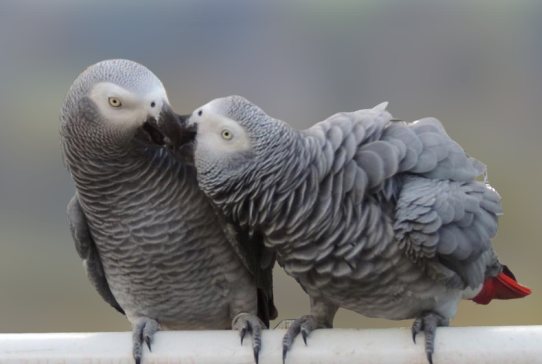 African grey parrot(talking parrot)