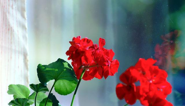 red geranium, pelargonia, punainen kukka, mummola, ikkunalla, window