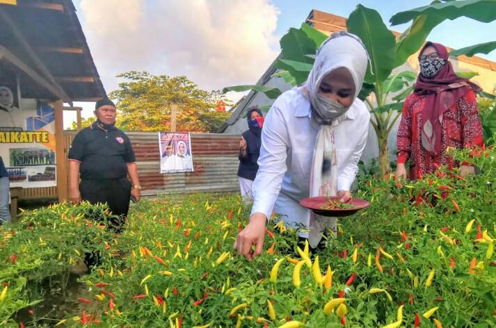Fatmawati Rusdi Panen lombok dikelurahan Karunrung, Kecamatan Rappocini, Kota Makassar