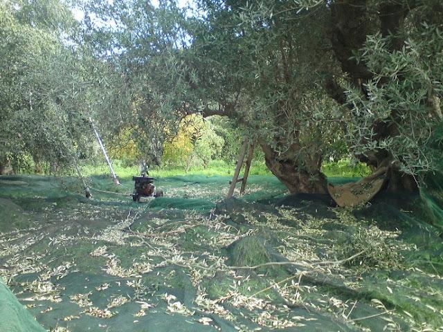 «Από την ελιά στο λάδι» για τους μικρούς μαθητές του 6ου Νηπιαγωγείου Ναυπλίου