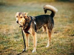exercícios para cães amputados