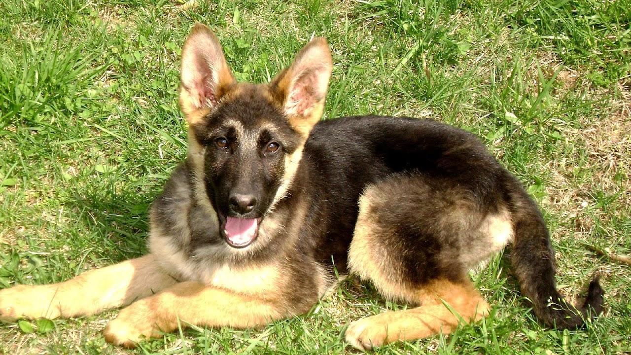 Buy German Shepherd Puppy Price In Italy