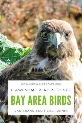 Bird Watching Bay Area - San Francisco California