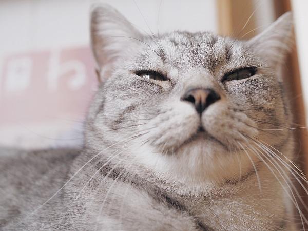 もっこりマズルのサバトラ猫の顔面アップ