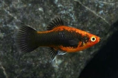 Gambar Ikan Platy Tuxedo