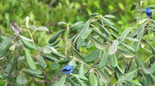 White-browed Purpletuft and two Short-billed Honeycreeper