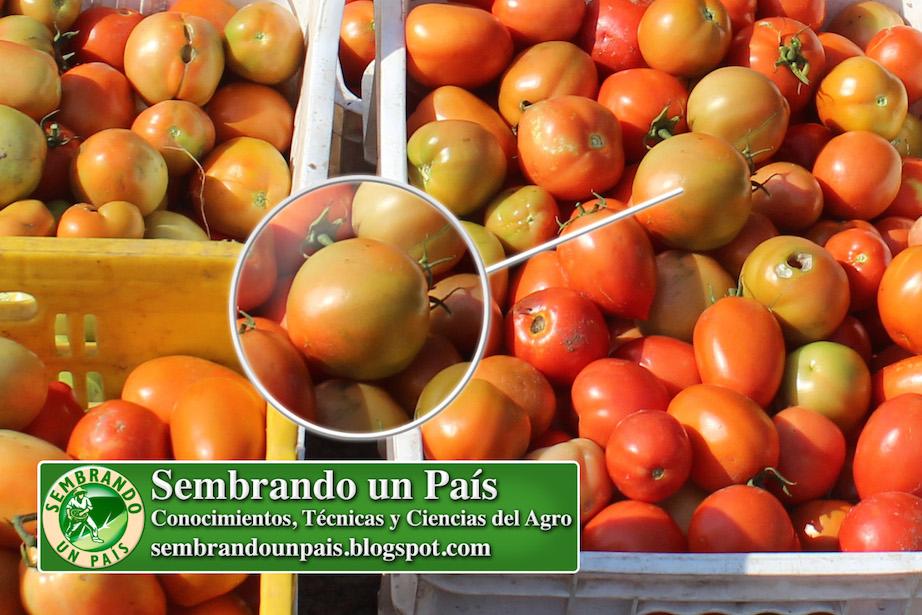 fruto de tomate casi maduro