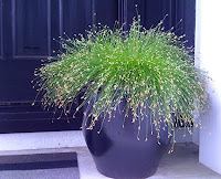 Poofy fern-like plant in a black container in front of a black door. FIBER OPTIC GRASS (Isolepis cernua)