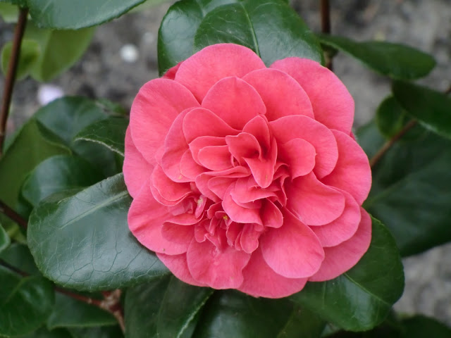Pink Camellia bloom in Springtime on Vancouver Island.
