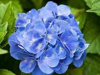 Ini Dia 5 Keistimewaan Bunga Hortensia yang Belum Kalian Ketahui