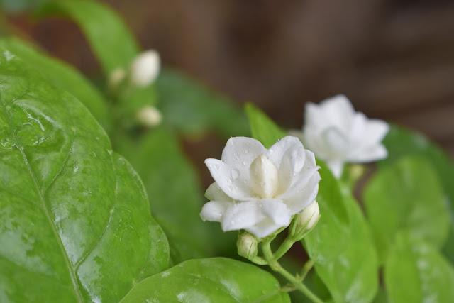 10 Gambar bunga melati putih