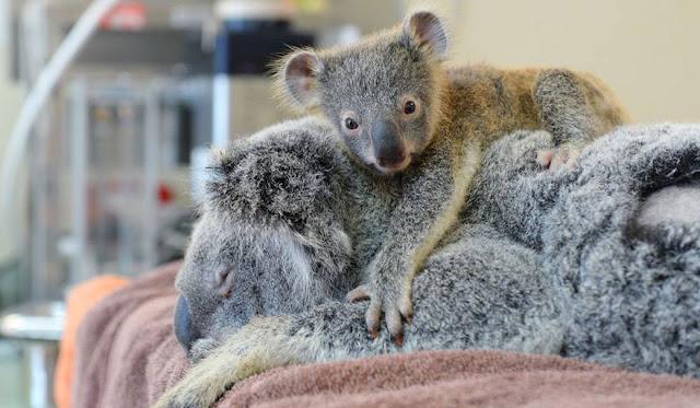 6-месячная коала не отходила от мамы даже во время операции!