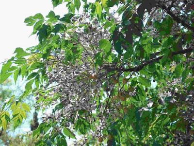 Budidaya dan Perawatan Pohon Mindi Terlengkap