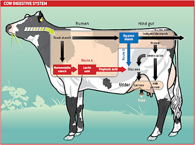 anatomy of digestive system in cows