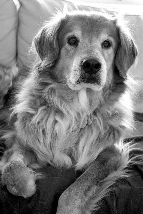 Cute Golden White  Retriever Puppy just Lovely
