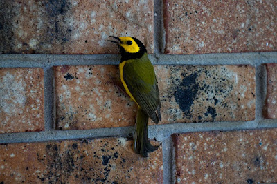 Photo of Hooded Warbler on brick wall