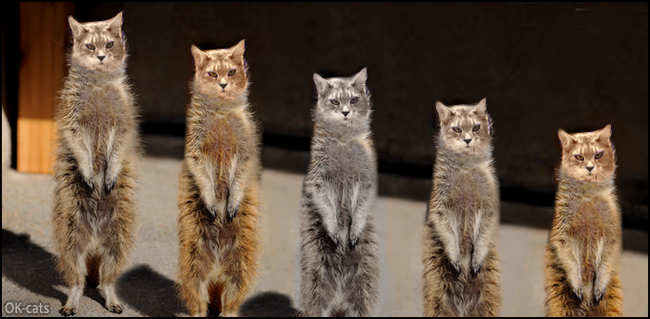 Photoshopped Cat picture • Meercat army is ready to fight Caution, they're legion