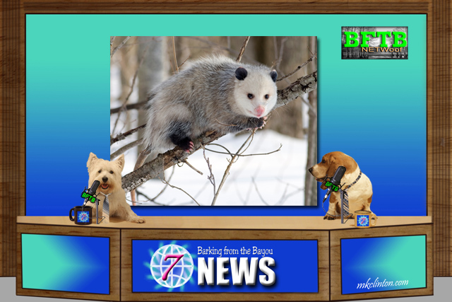 BFTB NETWoof News dogs reporting on possums