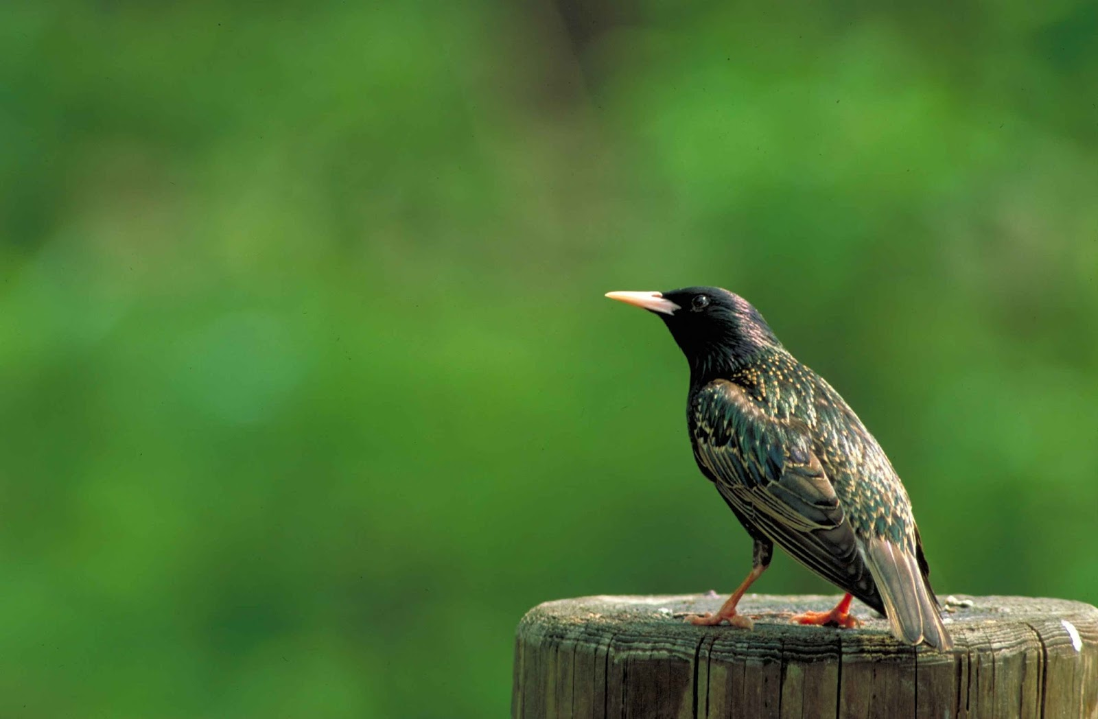 Picture of a European starling.