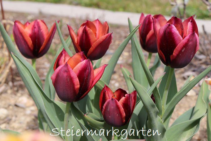 Tulpen-Muvota-Steiermarkgarten