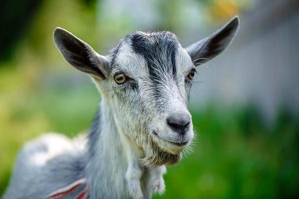 Saint-Denis : Un habitant interpellé après avoir égorgé une chèvre à son domicile