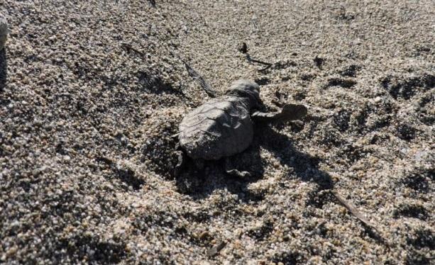 Τα πρώτα χελωνάκια του 2019 κολυμπάνε στον Λακωνικό Κόλπο