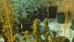 Face puşcărie după ce a cultivat canabis în găleţi, la Poiana Mare