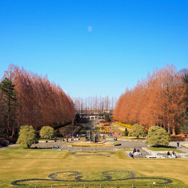 神奈川県立相模原公園 「噴水広場」のメタセコイヤ並木はかなり立派!