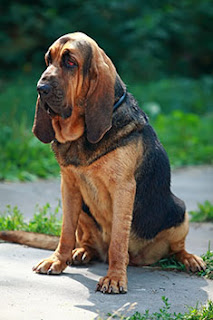 Everything about your Bloodhound