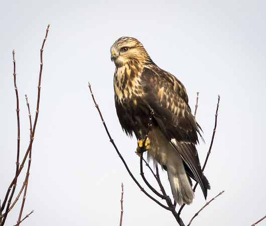 Juvenile Rough-Legged Hawk