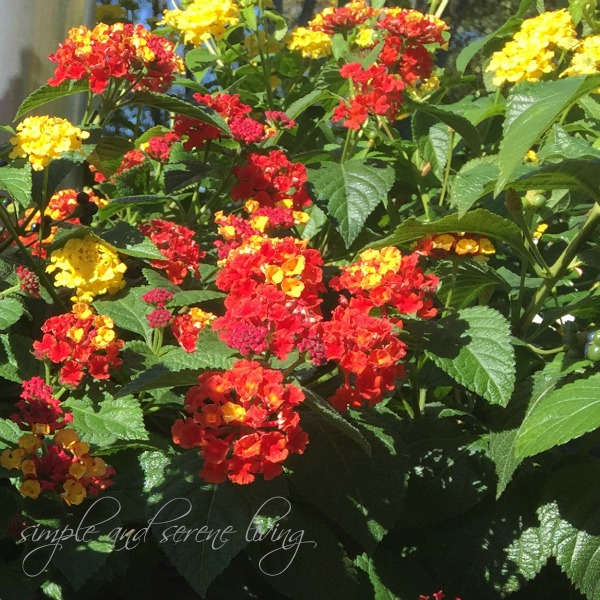 flowering lantana fall flowers