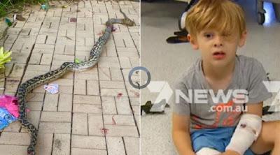 Bocah 4 tahun dililit ular piton
