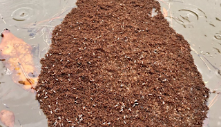 'Island Of Fire Ants' Discovered In Houston Flooding
