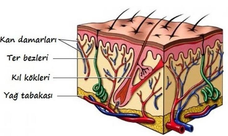 dermisinn yapısı ile ilgili görsel sonucu