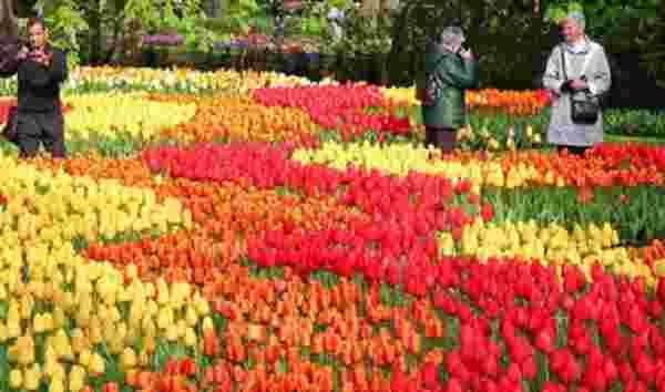 Panduan Cara Menanam Bunga Tulip Di Daerah Tropis Seperti Indonesia