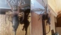 Αν είστε αραχνοφοβικός, σταματήστε εδώ: Αράχνη τρώει ολόκληρο οπόσουμ