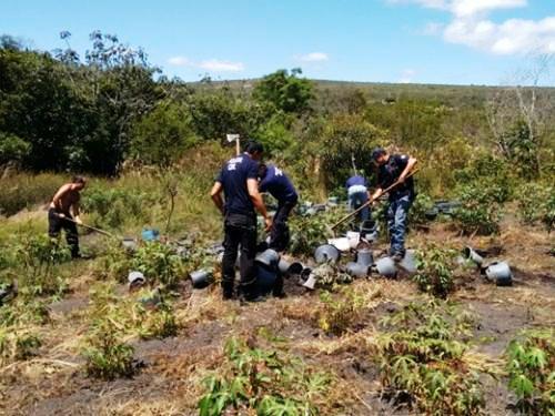 Ibicoara: Mais de 800 pés de maconha são destruídos na zona rural
