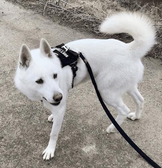 Laika de Siberia Oriental perro