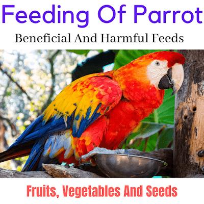 what do parrots eat,parrots,parrot food,parrot,parrot diet,what to feed parrots,what do i feed my parrot,parrot chop,feeding parrots,what parrots eat,caring for parrots,parrot care,what does parrot eat,parot,what parrot eat,feeding parrot,what human food can parrots eat,how to feed a parrot,all parrots,pet parrots,wild parrots,parrots food,mcpe parrots,what not to feed parrots,my parrot ate avocado,what to feed your parrots,small parrots,parots,parrots flying,parrot topic,parrots unusual